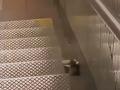 VIDEO Žena na schodoch nakrútila obrovského potkana: Ale keď zbadala, čo si nesie v papuli!