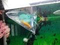 FOTO Žena vyhrala zlatú rybku, netušila, čo z nej vyrastie: Hotové monštrum, zožralo všetko naokolo!
