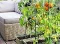 Domáce paradajky, reďkovka alebo