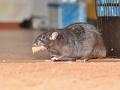 KORONAVÍRUS Úrady varujú pred agresívnymi krysami: Kvôli pandémii sú hladné, pozor na príbytky!