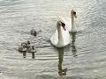 FOTO Na Štrkovec sa po tragédii vrátila labutia rodinka! Rázny krok pre beštiálne správanie ľudí
