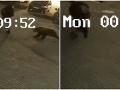 Brutálne VIDEO z parkoviska: Na muža z ničoho nič zaútočil medveď!