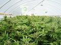 Holandsko hľadá legálnych pestovateľov marihuany: Chce tak oslabiť zločinnosť