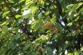 Chlapec oberal čerešne z cudzieho stromu: Čelí obvineniu z trestného činu krádeže