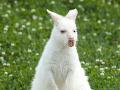 Kuriózny telefonát na políciu! Videl som bieleho klokana, oznámil vodič: Mal na neho pozerať