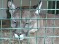 Rodinný výlet v zooparku sa zmenil na HOROR! Dievčatko (3) napadla puma: Padli obvinenia