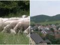 Krvavý útok vlčej svorky na Orave: FOTO Pastierovi ostali oči pre plač, ovce zbieral po celom chotári