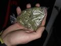 Na hraniciach v Röszke zadržali Srba, ktorý pašoval 44 kg marihuany