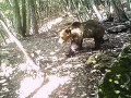 FOTO Chytili najhľadanejšieho medveďa v Európe! Úrady sú z neho zúfalé, je to únikový génius