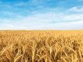 Argentína ako prvá krajina schválila geneticky modifikovanú pšenicu