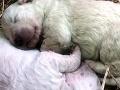 Vrchol roztomilosti: VIDEO Na svet prišlo zelené šteniatko, dostalo nezabudnuteľný darček