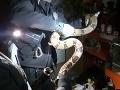 Nočná mora v Prievidzi: FOTO Bŕŕ, vyše dvojmetrový had na úteku! Zasahovať musela polícia