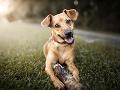KORONAVÍRUS Rakúska armáda robí výcvik psov, ktoré dokážu odhaliť nákazu