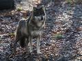 Vlky sa na Slovensku strieľali naposledy: Šelmy budú chránené celoročne