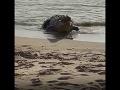 VIDEO Rybačka sa zvrhla na nechutné divadlo: Z mora vyšiel krokodíl, z jeho raňajok ženu napínalo