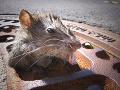 Zvieracia katastrofa kvôli LOCKDOWNU: Hrozí megainvázia 150 miliónov obrovských potkanov