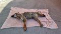 Zrazil vlka? Predsedníčka Slobody zvierat to nevylučuje: FOTO Nehoda v Bratislave vzbudzuje otázky