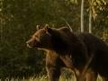 VIDEO Ochranári zúria: Princ mal zastreliť najväčšieho medveďa v Európskej únii!