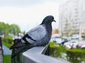 Otravujú vás holuby? Dajte
