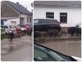 Diviaky v uliciach Pezinka