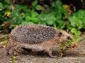 Z ježkov sa stávajú zabijaci: Miestni obyvatelia sú zúfalí, prehovoril odborník