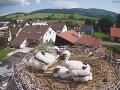 Tragická smrť bocianej samičky: VIDEO V hniezde po nej ostali mláďatká, dojímavý čin mužov