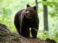 Zásahový tím varuje: V okolí Sučian sa pohybuje medveď!