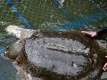 Posvätná korytnačka, prinášajúca dobré správy, ochorela