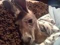 Oblečený pes nič nové, ale kengura?!