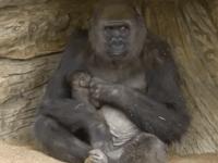 Gorilia mama konečne so svojím mláďatkom