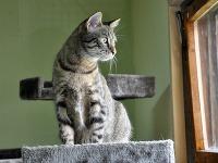 Veľký ruský mačička