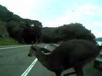Jeleň mohol cyklistovi vážne ublížiť.
