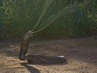 Kobra sa môže za deň preplaziť aj niekoľko kilometrov!
