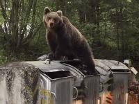 Medveď sa kŕmil až do prasknutia.