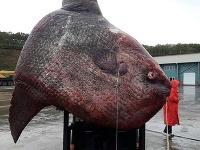 Jeden z mála exemplárov teplokrvnej ryby