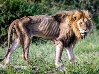 Vyhladovaný lev tesne pred smrťou.