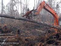 Orangutan bojuje s buldozérom
