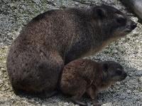 V košickej zoo sa narodilo prvé mláďa damana kapského,