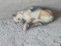 Útulok UVP Košice zachránil týranú sučku nemeckého ovčiaka.