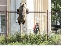 Medveď preliezol cez plot.