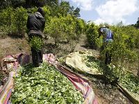 Pestovanie koky, ktorá slúži na výrobu kokaínu, dosiahlo v Kolumbii nebývalé rozmery.