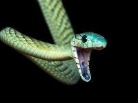 Mamba zelená patrí medzi najviac jedovaté hady na svete.