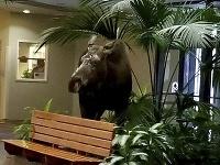 Nemocnica na Aljaške mala veľmi neočakávaného návštevníka