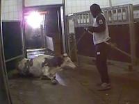 Na bitúnkoch sa malo obchodovať s chorým hovädzím dobytkom.
