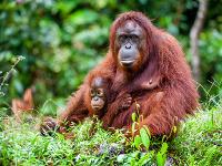 Orangutány môžu výstavbou prísť o svoje obydlie.