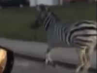 Zebra ušla z cirkusu v Nitre.