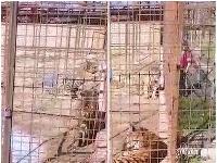 Ženu uhryzol tiger.