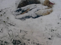 Samičku bociana doslova zasypal sneh.