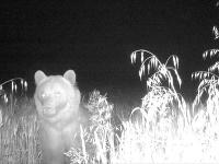 V katastri obce Košariská bol zaznamenaný výskyt medveďa hnedého.