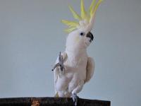 Vedci skúmali tancujúceho papagája